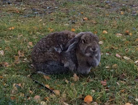 Kaninlivet er slettes ikke verst
